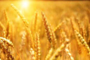 豊作の農業
